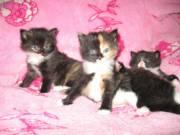 Продам сибирских котят без родословной
