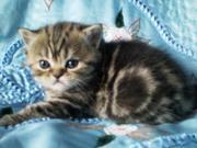 Продаются британские котята короткошёрстные